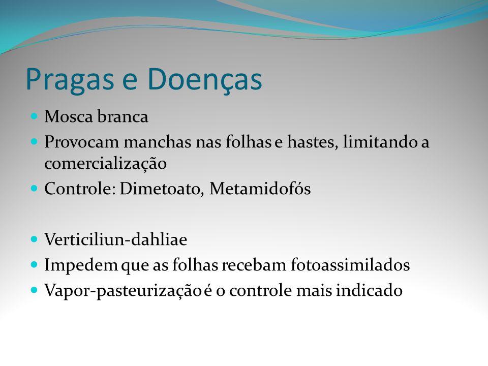 Pragas e Doenças Mosca branca Provocam manchas nas folhas e hastes, limitando a comercialização Controle: Dimetoato, Metamidofós Verticiliun-dahliae I