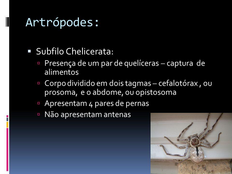 Artrópodes:  Subfilo Chelicerata:  Presença de um par de quelíceras – captura de alimentos  Corpo dividido em dois tagmas – cefalotórax, ou prosoma, e o abdome, ou opistosoma  Apresentam 4 pares de pernas  Não apresentam antenas