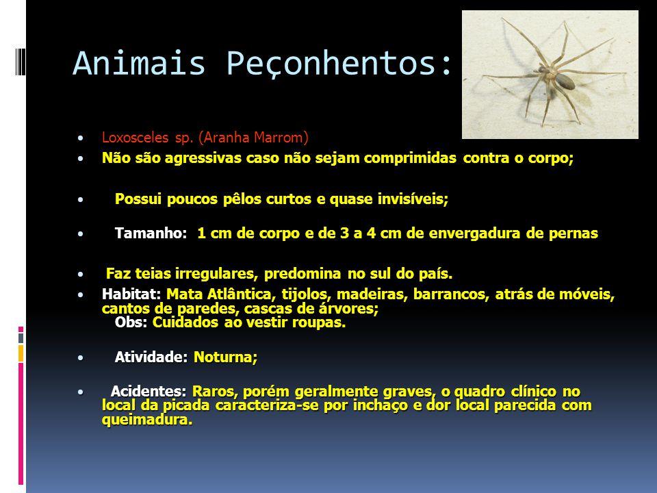 Animais Peçonhentos: Loxosceles sp.