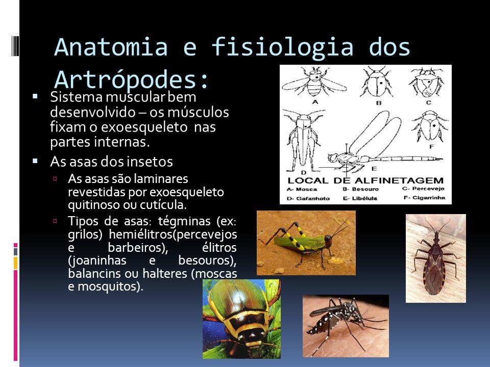 Anatomia e fisiologia dos Artrópodes:  Sistema muscular bem desenvolvido – os músculos fixam o exoesqueleto nas partes internas.