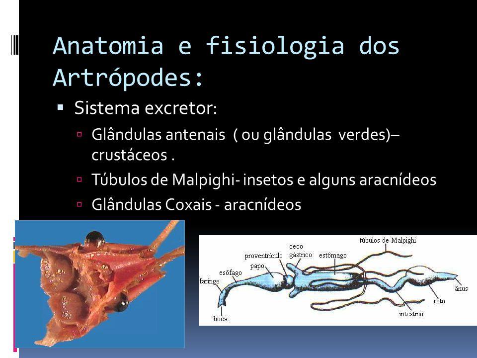 Anatomia e fisiologia dos Artrópodes:  Sistema excretor:  Glândulas antenais ( ou glândulas verdes)– crustáceos.