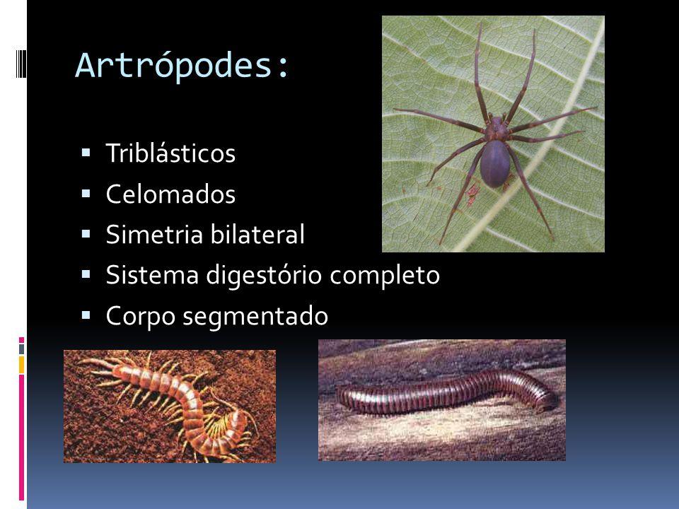 Artrópodes:  Triblásticos  Celomados  Simetria bilateral  Sistema digestório completo  Corpo segmentado