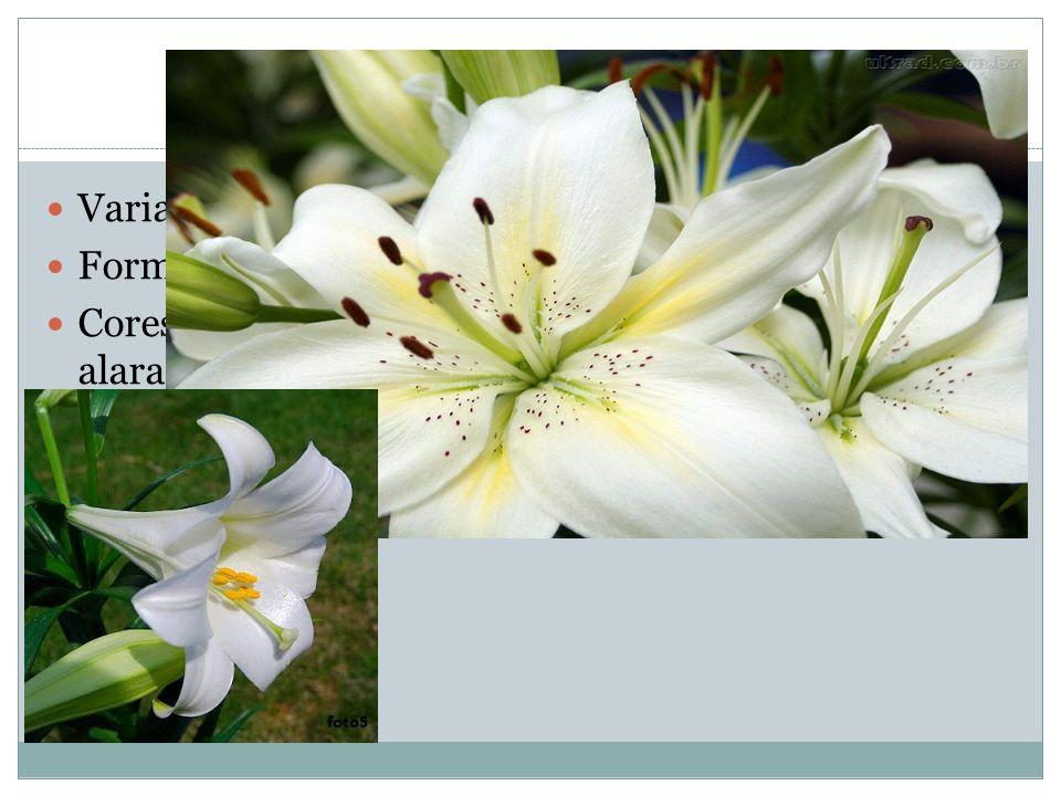 Flores Variação: cor, tamanho e forma Formato: plano ou trompete Cores: brancas, amarelas, alaranjadas, roxo- alaranjados até púrpura Ovários fechados por sépalas Seis segmentos: 3 internos (pétalas), 3 externos (sépalas)