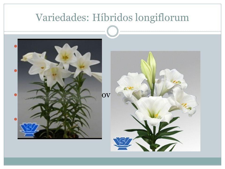 Variedades: Híbridos longiflorum Nativo do Japão Coloração branca Florada: setembro e novembro Perfume adocicado