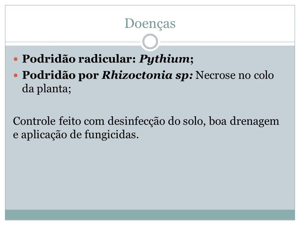 Doenças Podridão radicular: Pythium; Podridão por Rhizoctonia sp: Necrose no colo da planta; Controle feito com desinfecção do solo, boa drenagem e aplicação de fungicidas.