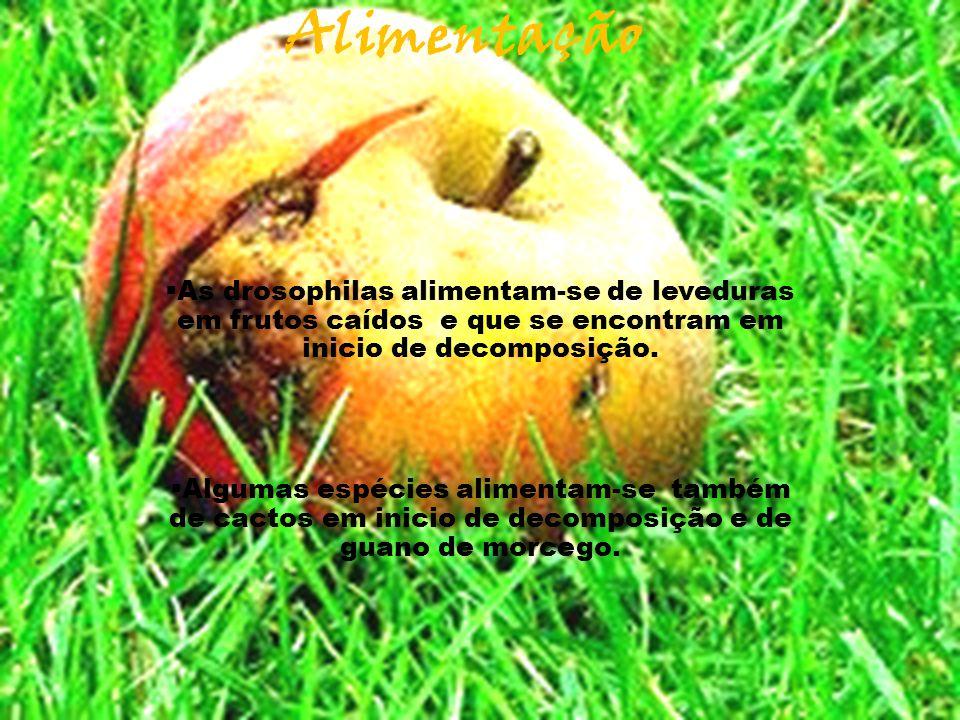 Alimentação  As drosophilas alimentam-se de leveduras em frutos caídos e que se encontram em inicio de decomposição.  Algumas espécies alimentam-se