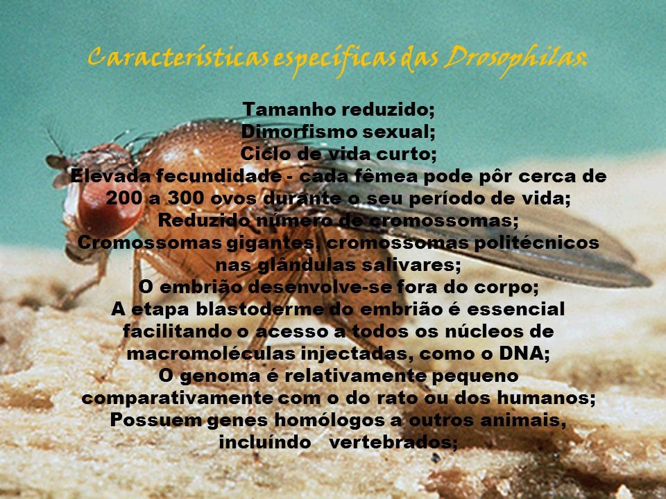 Características específicas das Drosophilas: Tamanho reduzido; Dimorfismo sexual; Ciclo de vida curto; Elevada fecundidade - cada fêmea pode pôr cerca