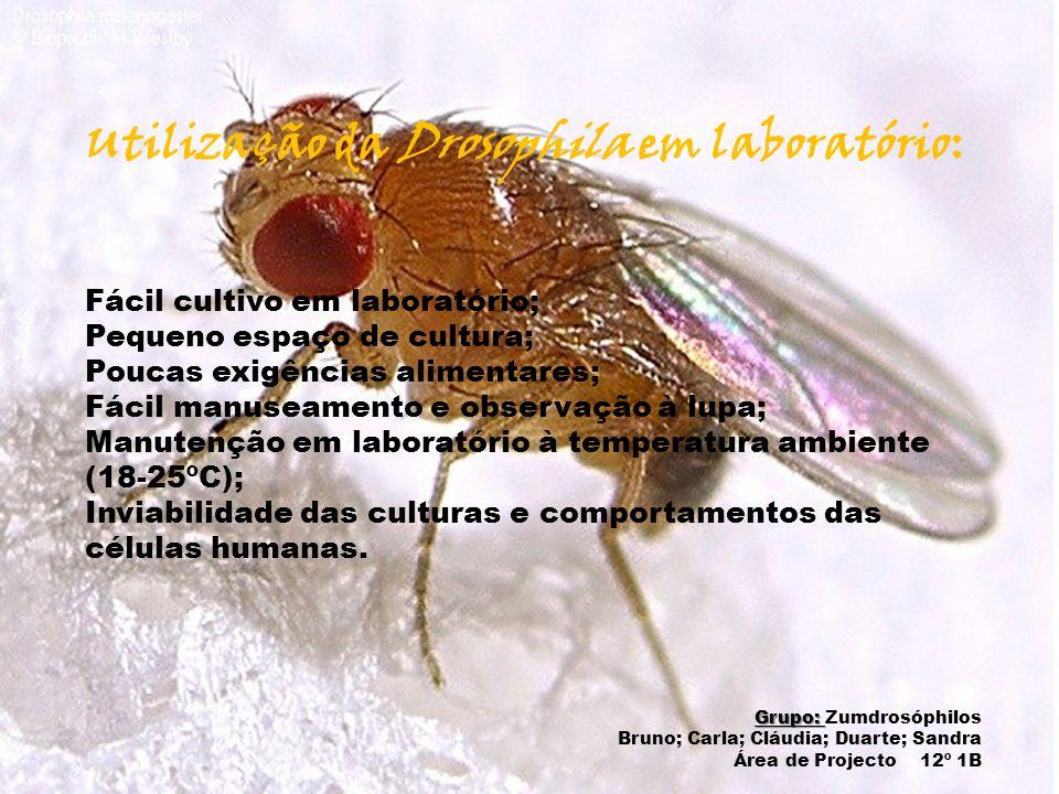 Utilização da Drosophila em laboratório: Fácil cultivo em laboratório; Pequeno espaço de cultura; Poucas exigências alimentares; Fácil manuseamento e