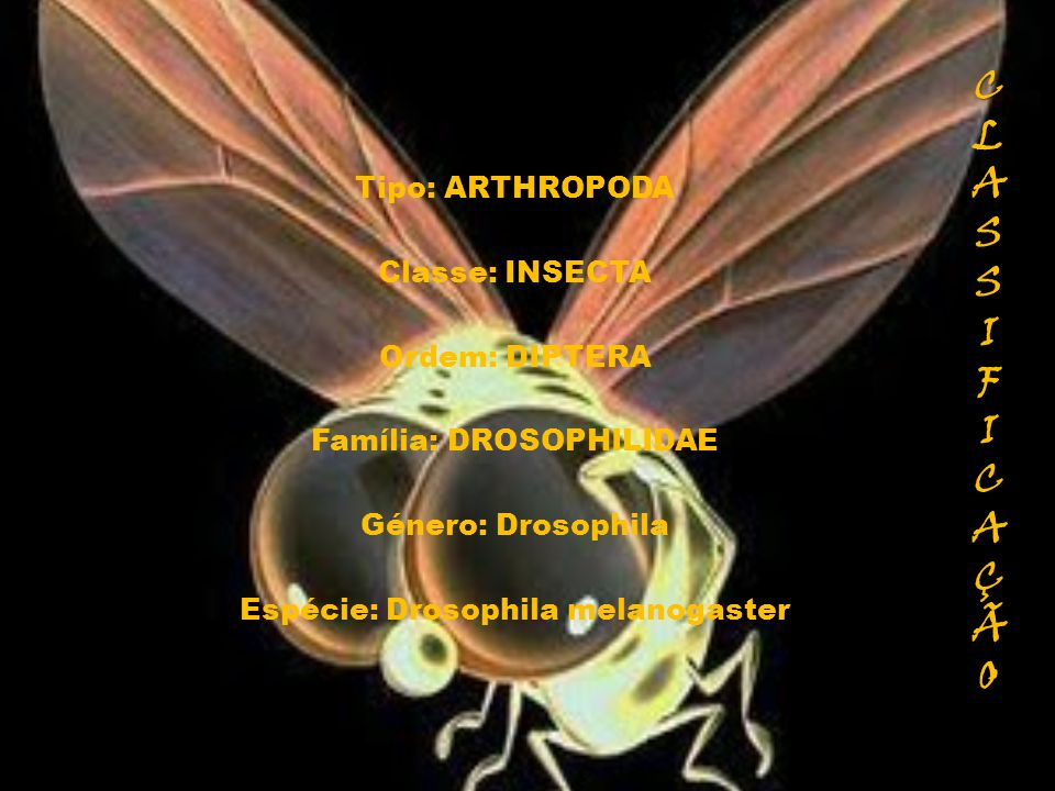 CLASSIFICAÇÃOCLASSIFICAÇÃOCLASSIFICAÇÃOCLASSIFICAÇÃO Tipo: ARTHROPODA Classe: INSECTA Ordem: DIPTERA Família: DROSOPHILIDAE Género: Drosophila Espécie