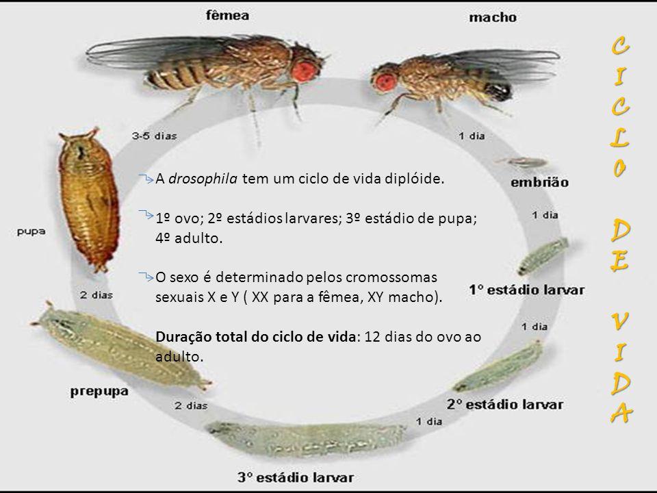 A drosophila tem um ciclo de vida diplóide. 1º ovo; 2º estádios larvares; 3º estádio de pupa; 4º adulto. O sexo é determinado pelos cromossomas sexuai