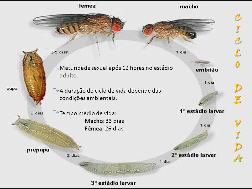 Macho Fêmea Maturidade sexual após 12 horas no estádio adulto. A duração do ciclo de vida depende das condições ambientais. Tempo médio de vida: Macho