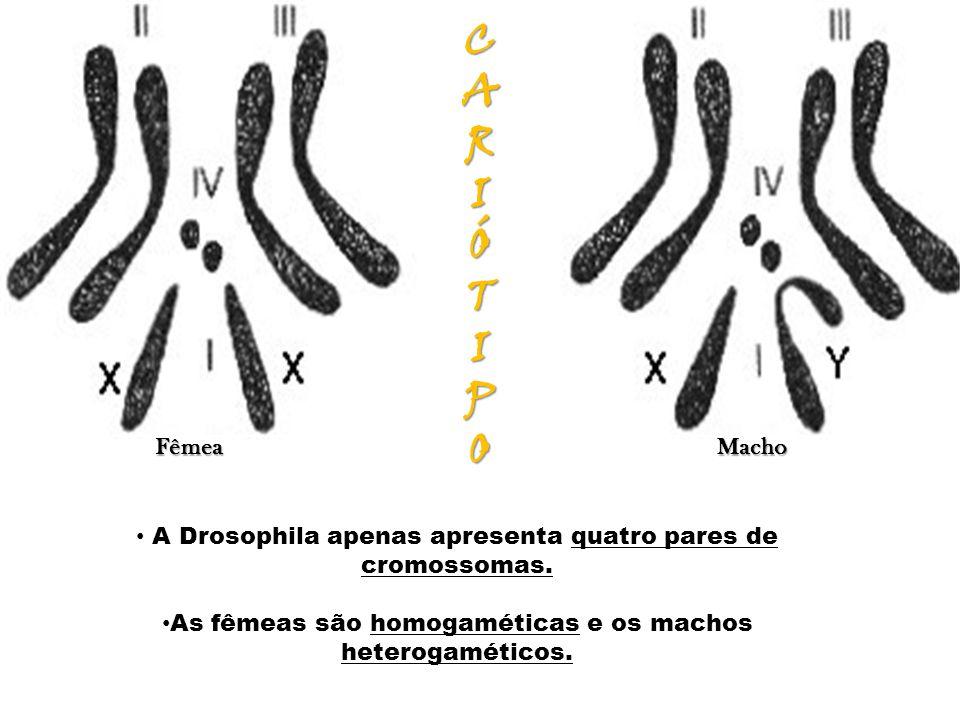 CARIÓTIPOCARIÓTIPOCARIÓTIPOCARIÓTIPO Fêmea Macho Fêmea Macho A Drosophila apenas apresenta quatro pares de cromossomas. As fêmeas são homogaméticas e
