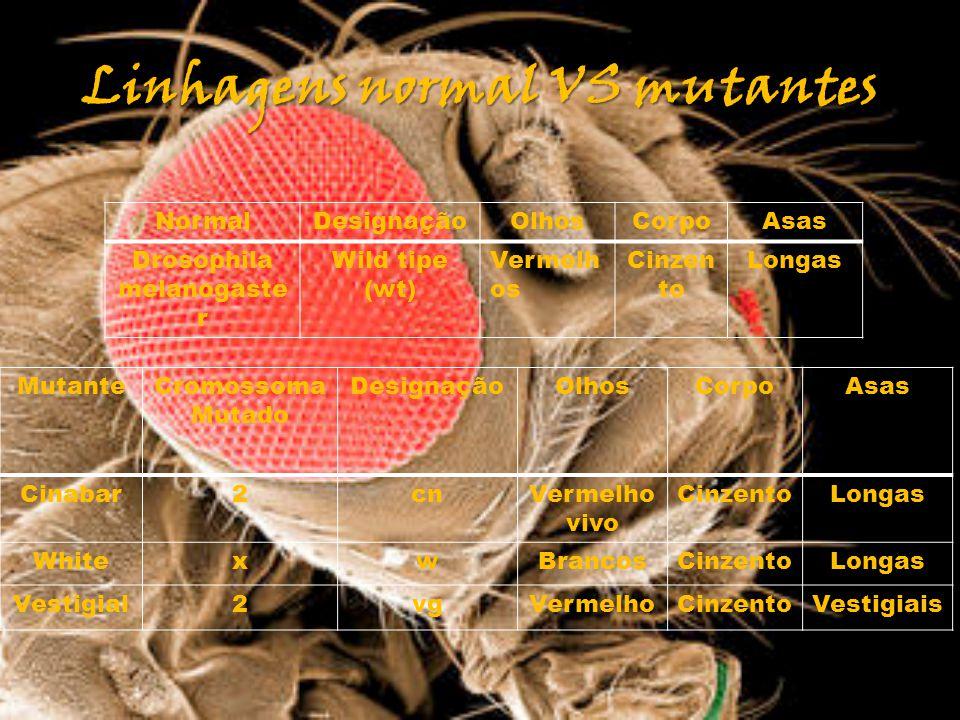 Linhagens normal VS mutantes MutanteCromossoma Mutado DesignaçãoOlhosCorpoAsas Cinabar2cnVermelho vivo CinzentoLongas WhitexwBrancosCinzentoLongas Ves