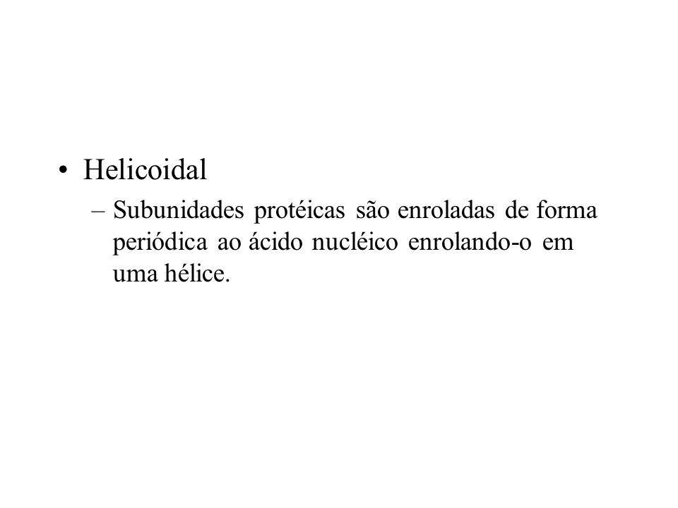 Helicoidal –Subunidades protéicas são enroladas de forma periódica ao ácido nucléico enrolando-o em uma hélice.