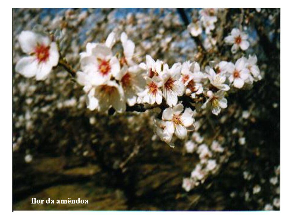 linha de amendoeira ainda na fazenda abelhas para polinização amendoeira florida amendoeira carregada de frutos