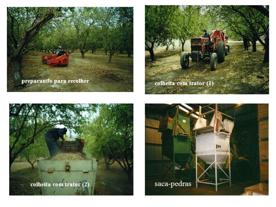 trator para colheita trator derrubando as amêndoas – um espetáculo amêndoas secando ao sol Juntando as amêndoas para colheita