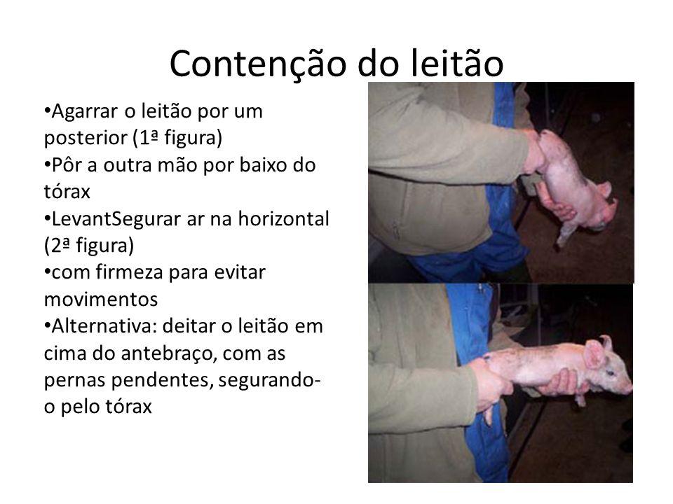 Contenção do leitão Agarrar o leitão por um posterior (1ª figura) Pôr a outra mão por baixo do tórax LevantSegurar ar na horizontal (2ª figura) com firmeza para evitar movimentos Alternativa: deitar o leitão em cima do antebraço, com as pernas pendentes, segurando- o pelo tórax