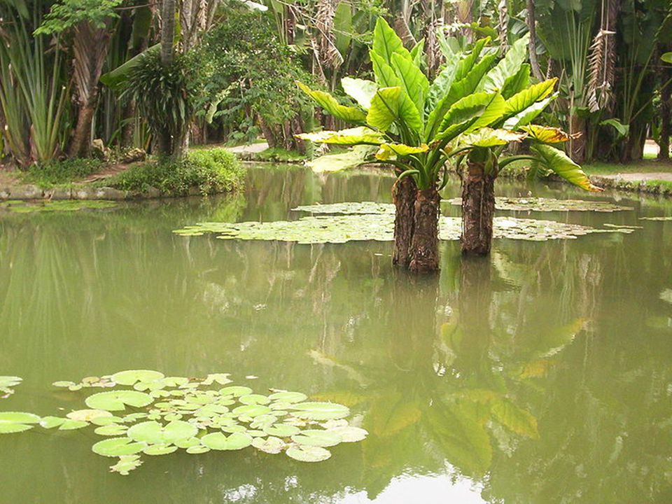 Além da Vitória Régia (Victoria amazonica), flor de lótus (Nelumbo nucifera) e outras plantas aquáticas, o lago abriga várias espécies de peixes de ág