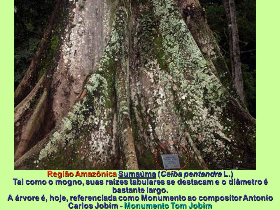 Abricó de Macaco (Couroupita guianensis )