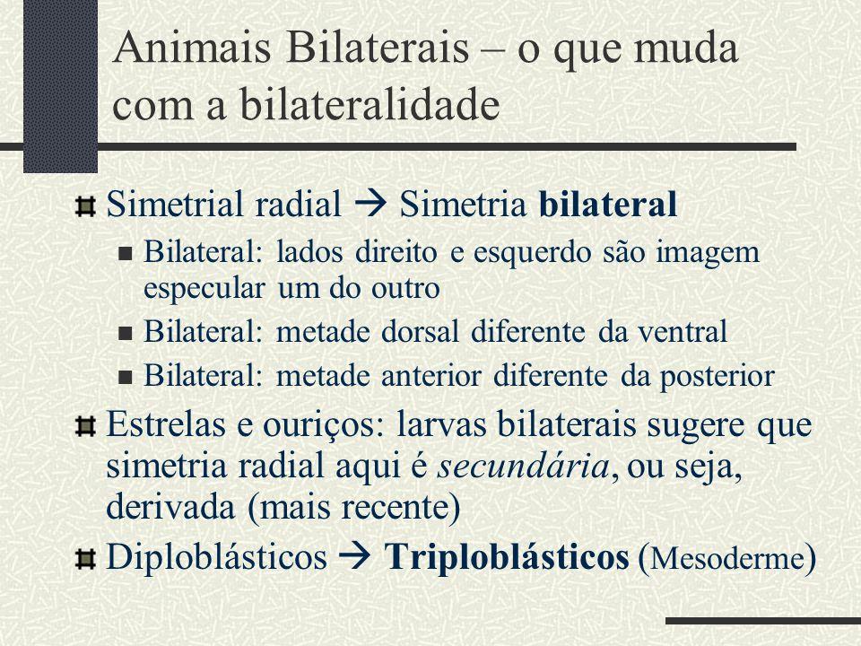 Animais Bilaterais – o que muda com a bilateralidade Simetrial radial  Simetria bilateral Bilateral: lados direito e esquerdo são imagem especular um