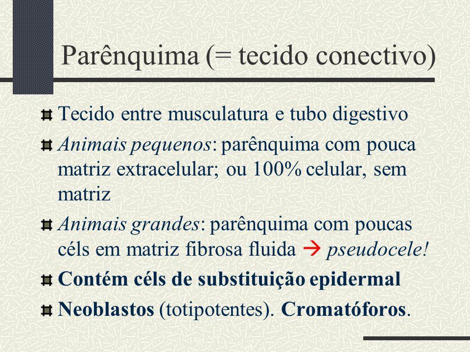 Parênquima (= tecido conectivo) Tecido entre musculatura e tubo digestivo Animais pequenos: parênquima com pouca matriz extracelular; ou 100% celular,