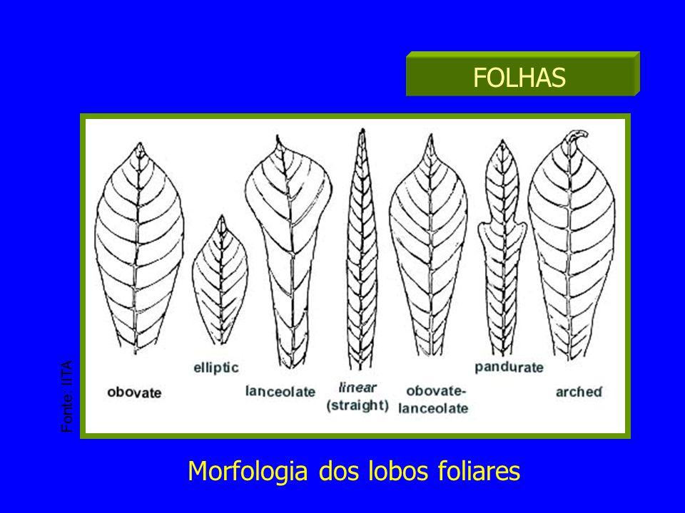 Inserção das folhas FOLHAS Morfologia dos lobos foliares Fonte: IITA