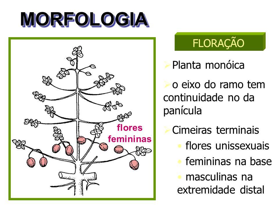 MORFOLOGIAMORFOLOGIA  Planta monóica  o eixo do ramo tem continuidade no da panícula  Cimeiras terminais flores unissexuais femininas na base mascu