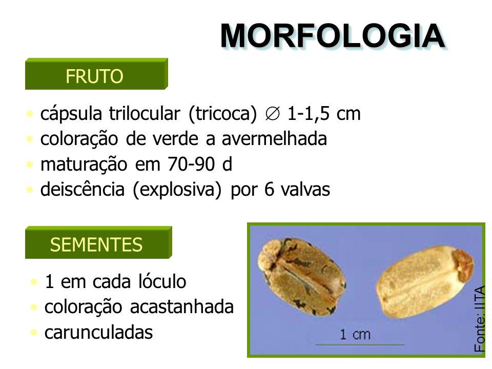 MORFOLOGIAMORFOLOGIA FRUTO cápsula trilocular (tricoca)  1-1,5 cm coloração de verde a avermelhada maturação em 70-90 d deiscência (explosiva) por 6