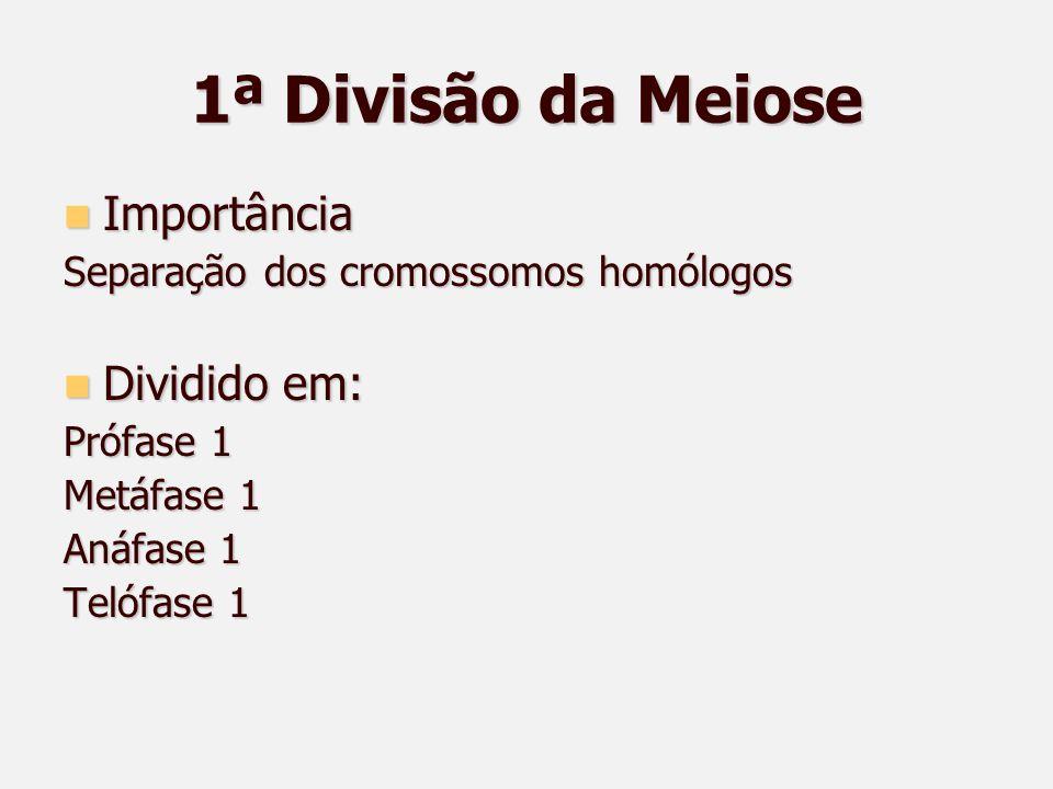 1ª Divisão da Meiose Importância Importância Separação dos cromossomos homólogos Dividido em: Dividido em: Prófase 1 Metáfase 1 Anáfase 1 Telófase 1