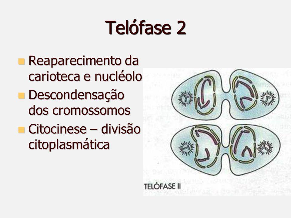 Telófase 2 Reaparecimento da carioteca e nucléolo Reaparecimento da carioteca e nucléolo Descondensação dos cromossomos Descondensação dos cromossomos Citocinese – divisão citoplasmática Citocinese – divisão citoplasmática