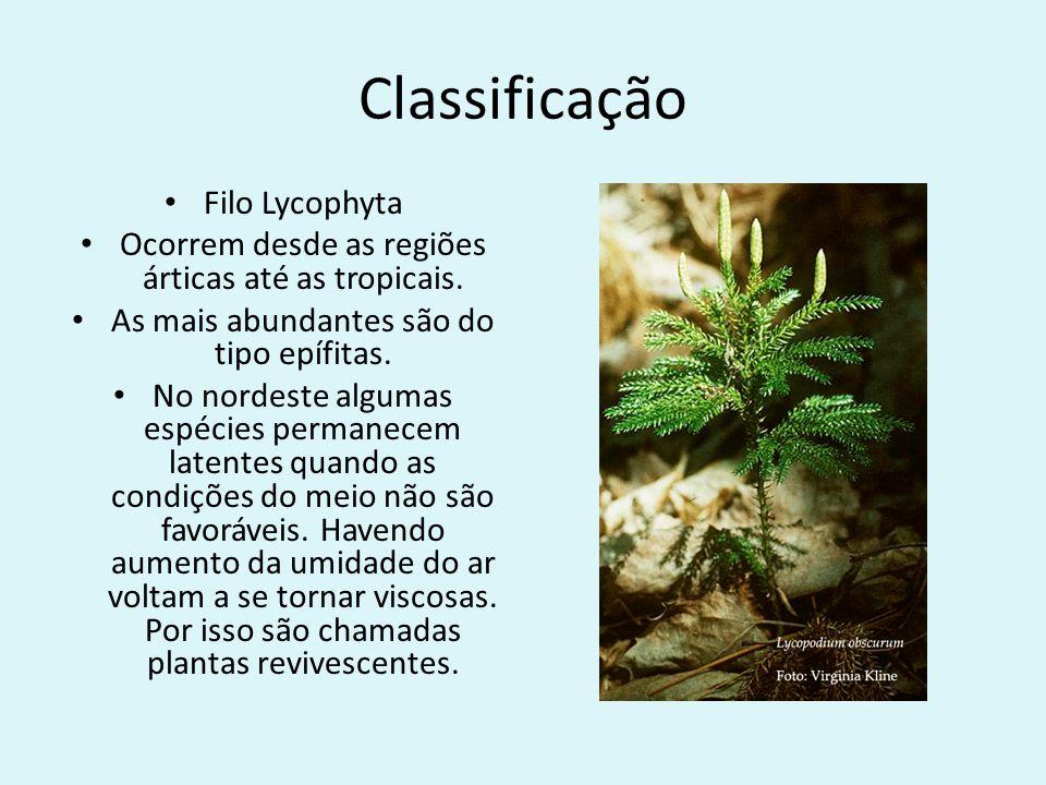 Classificação Filo Lycophyta Ocorrem desde as regiões árticas até as tropicais. As mais abundantes são do tipo epífitas. No nordeste algumas espécies