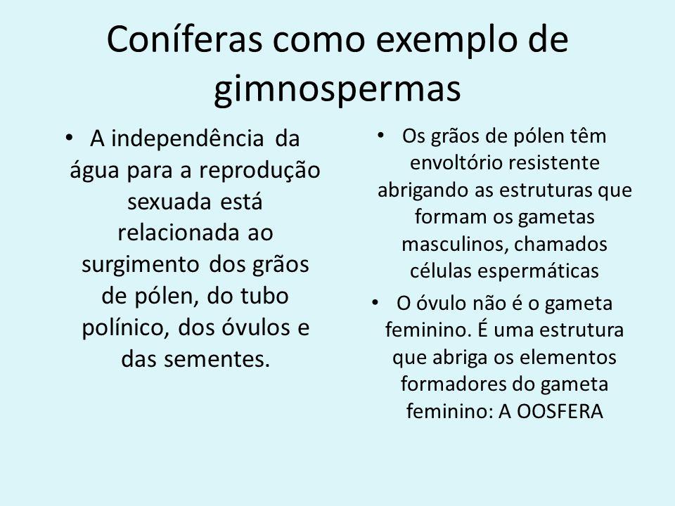 Coníferas como exemplo de gimnospermas A independência da água para a reprodução sexuada está relacionada ao surgimento dos grãos de pólen, do tubo po