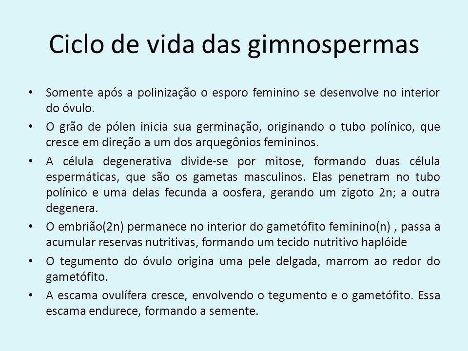 Ciclo de vida das gimnospermas Somente após a polinização o esporo feminino se desenvolve no interior do óvulo. O grão de pólen inicia sua germinação,