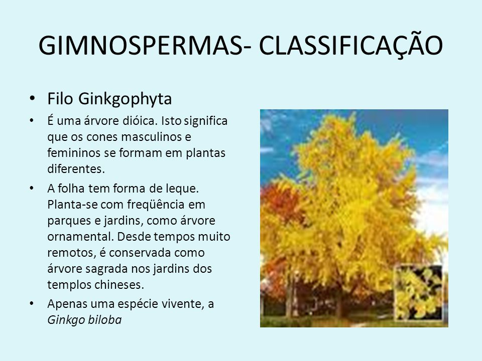 GIMNOSPERMAS- CLASSIFICAÇÃO Filo Ginkgophyta É uma árvore dióica. Isto significa que os cones masculinos e femininos se formam em plantas diferentes.