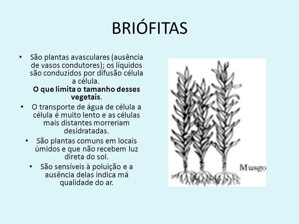 BRIÓFITAS A restrição a locais úmidos deve-se à ausência dos vasos condutores e também à dependência da água para reprodução, pois sua fecundação é por oogamia.