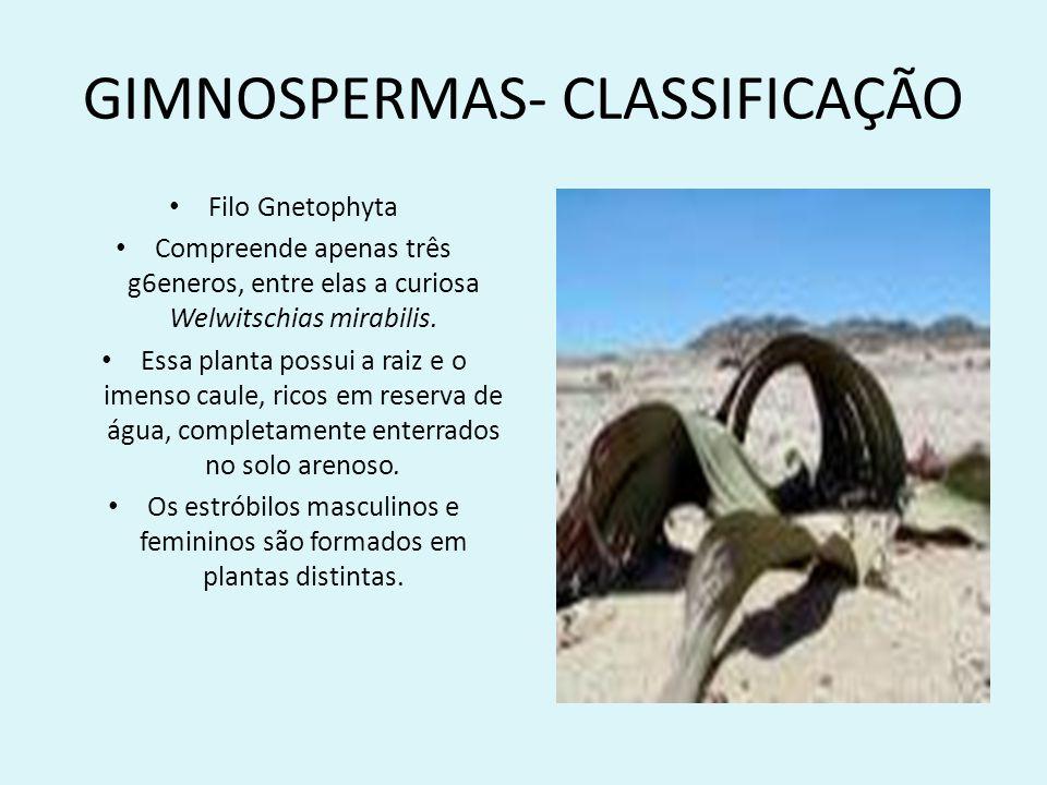 GIMNOSPERMAS- CLASSIFICAÇÃO Filo Gnetophyta Compreende apenas três g6eneros, entre elas a curiosa Welwitschias mirabilis. Essa planta possui a raiz e