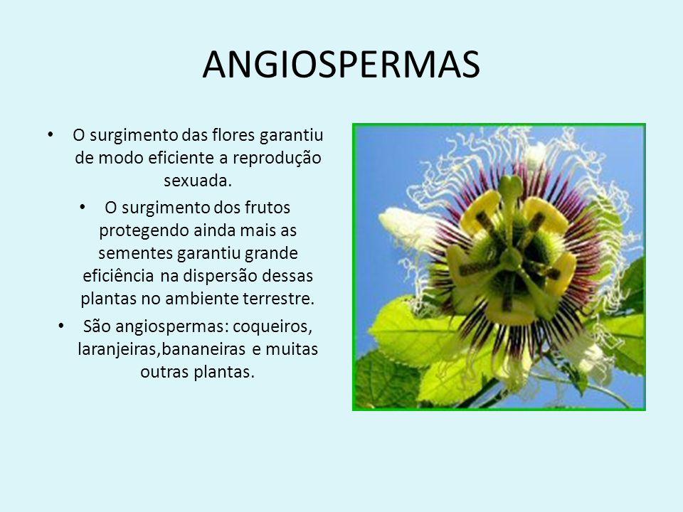 ANGIOSPERMAS O surgimento das flores garantiu de modo eficiente a reprodução sexuada. O surgimento dos frutos protegendo ainda mais as sementes garant
