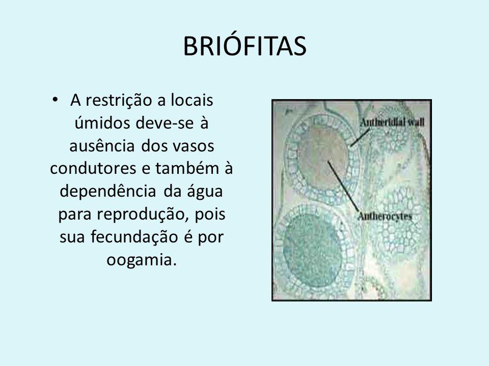 BRIÓFITAS A restrição a locais úmidos deve-se à ausência dos vasos condutores e também à dependência da água para reprodução, pois sua fecundação é po