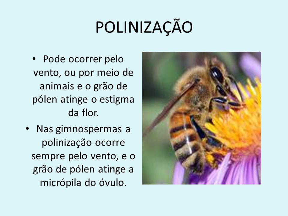 POLINIZAÇÃO Pode ocorrer pelo vento, ou por meio de animais e o grão de pólen atinge o estigma da flor. Nas gimnospermas a polinização ocorre sempre p