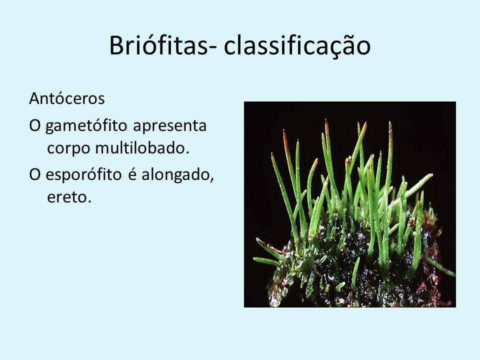 Briófitas-Classificação Musgos O gametófito cresce verticalmente.