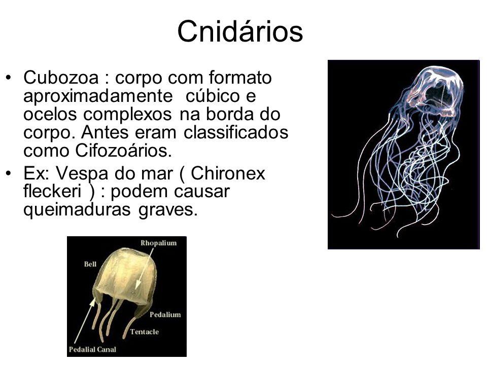 Cnidários Cubozoa : corpo com formato aproximadamente cúbico e ocelos complexos na borda do corpo.