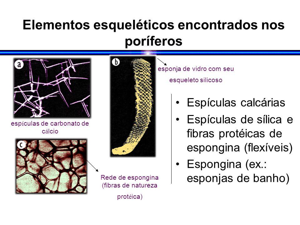 Elementos esqueléticos encontrados nos poríferos Espículas calcárias Espículas de sílica e fibras protéicas de espongina (flexíveis) Espongina (ex.: esponjas de banho) esp í culas de carbonato de c á lcio esponja de vidro com seu esqueleto silicoso Rede de espongina (fibras de natureza prot é ica)