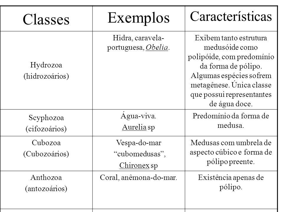 Classes Exemplos Características Hydrozoa (hidrozoários) Hidra, caravela- portuguesa, Obelia. Exibem tanto estrutura medusóide como polipóide, com pre