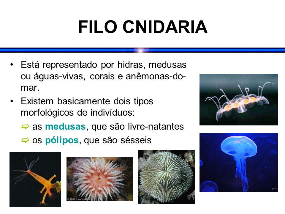 FILO CNIDARIA Está representado por hidras, medusas ou águas-vivas, corais e anêmonas-do- mar. Existem basicamente dois tipos morfológicos de indivídu
