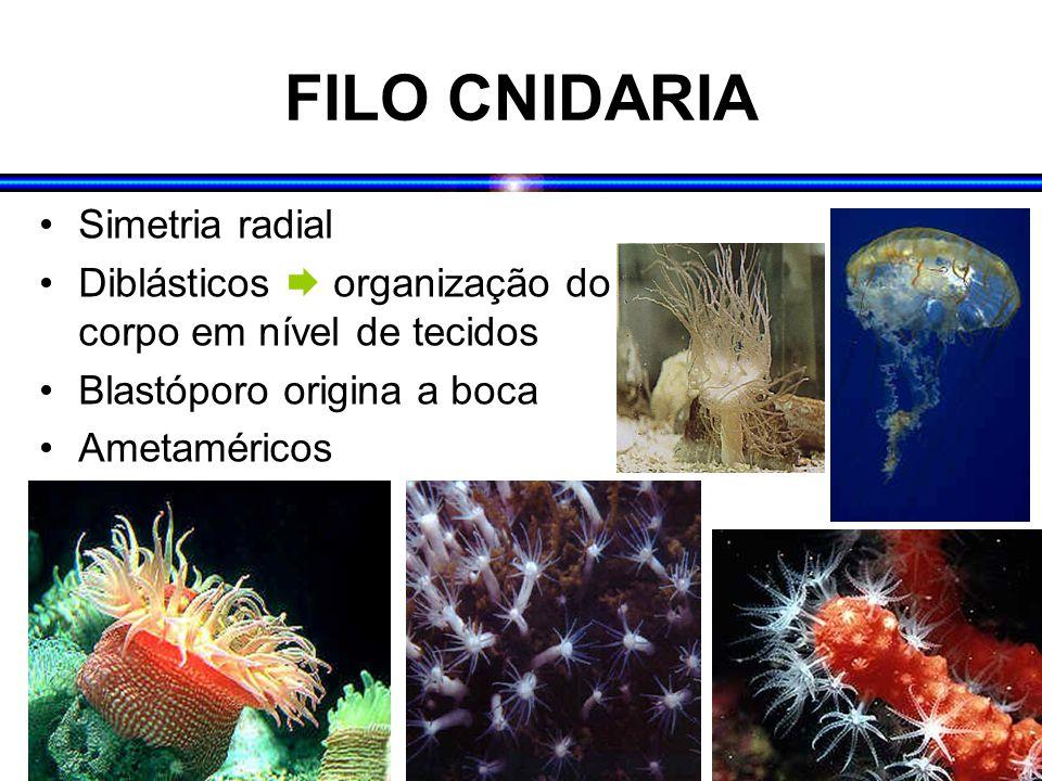 FILO CNIDARIA Simetria radial Diblásticos  organização do corpo em nível de tecidos Blastóporo origina a boca Ametaméricos