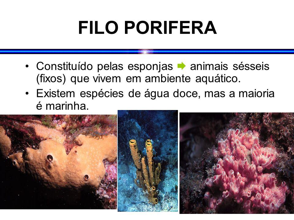 FILO PORIFERA Constituído pelas esponjas  animais sésseis (fixos) que vivem em ambiente aquático. Existem espécies de água doce, mas a maioria é mari