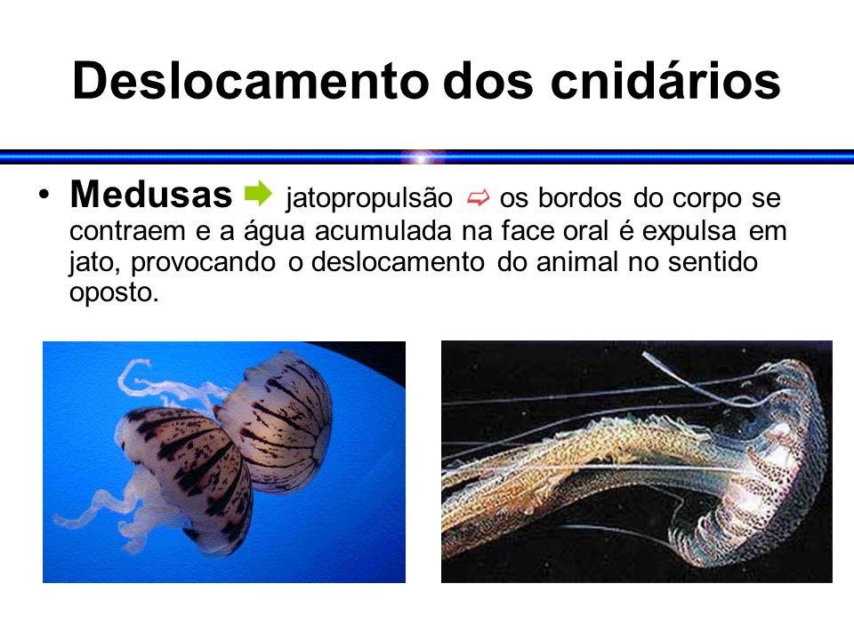 Deslocamento dos cnidários Medusas  jatopropulsão  os bordos do corpo se contraem e a água acumulada na face oral é expulsa em jato, provocando o deslocamento do animal no sentido oposto.