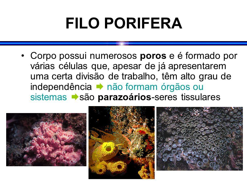 FILO PORIFERA Corpo possui numerosos poros e é formado por várias células que, apesar de já apresentarem uma certa divisão de trabalho, têm alto grau de independência  não formam órgãos ou sistemas  são parazoários-seres tissulares