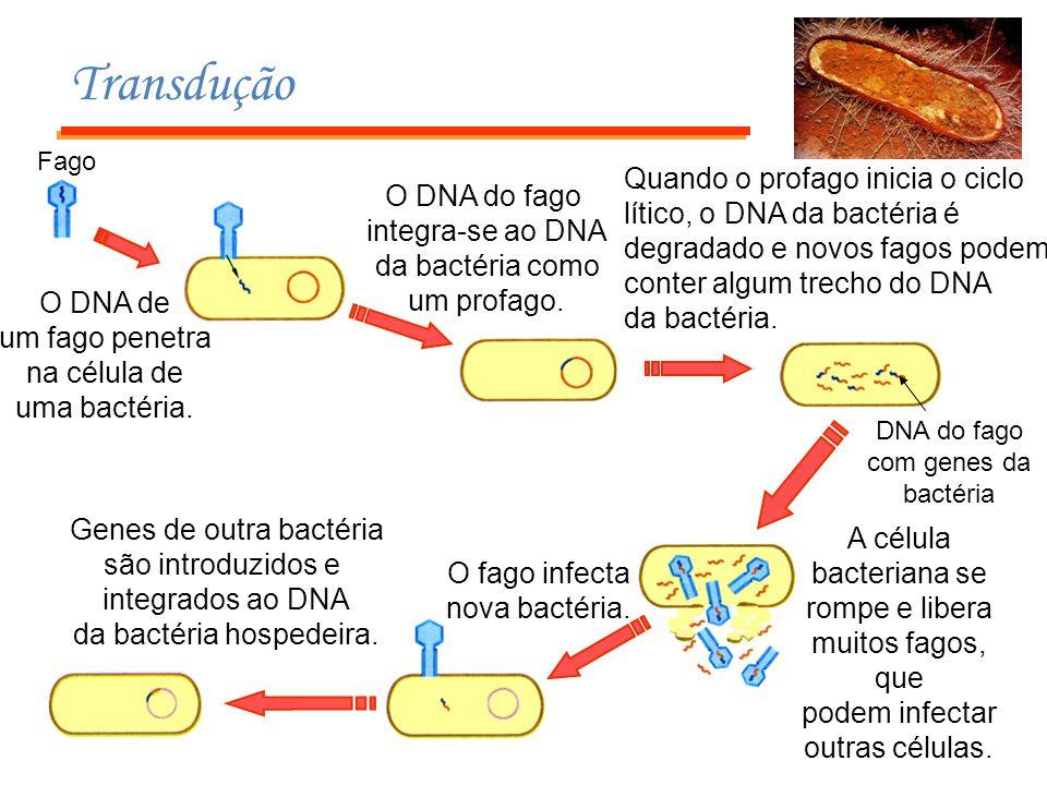 Transdução Fago O DNA de um fago penetra na célula de uma bactéria. O DNA do fago integra-se ao DNA da bactéria como um profago. Quando o profago inic