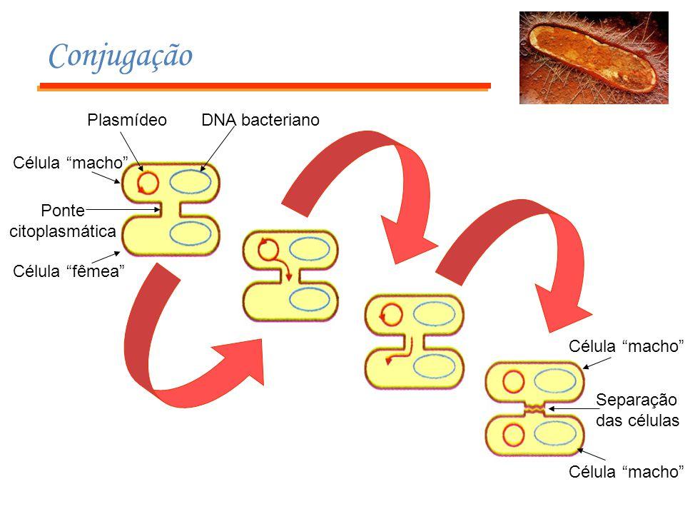 """Conjugação PlasmídeoDNA bacteriano Ponte citoplasmática Célula """"fêmea"""" Célula """"macho"""" Separação das células Célula """"macho"""""""
